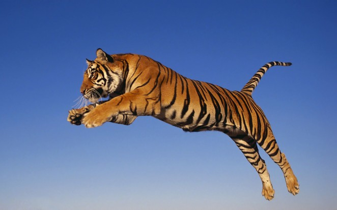 animal-jumping-and-attacking-tiger-tigers_199353